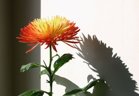 Chrysanthemum, wall, shadow