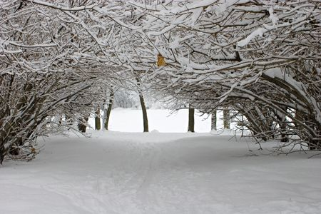 boughs: Boughs covered with snow.  Stock Photo