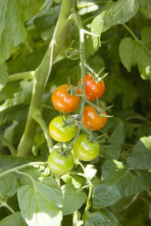 hot house: Tomato plants with tomatoes in hot house.  Stock Photo