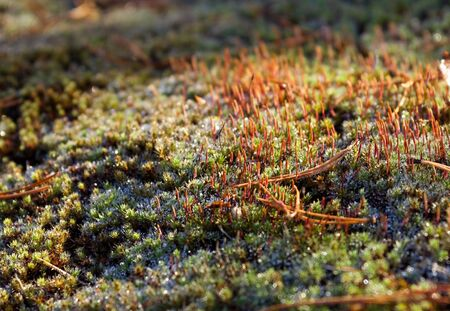 Close-up of a green moss with spores.  photo