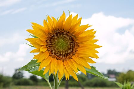 Bright and fresh sunflower in summer with a vibrant blue sky. photo