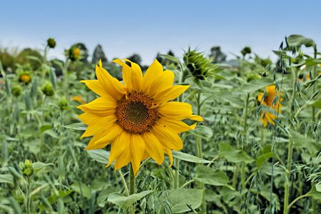 Bright and fresh sunflower in summer with a vibrant blue sky. Stock Photo - 7394788