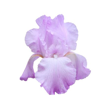 purple iris: Violet iris isolated on a white background.