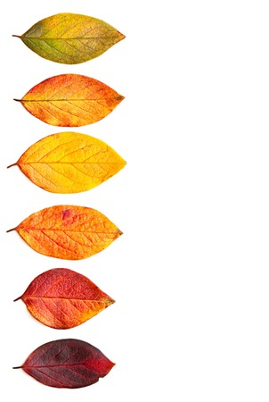 Autumnal leaves isolated on a white background. 免版税图像