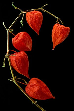 Physalis alkekengi isolated on a dark background. photo