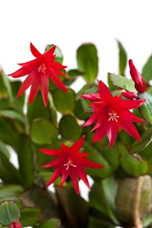 christmas cactus: Vibrant red Christmas cactus bloom (shlumbergera) on green leaves. Stock Photo