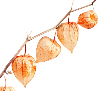 alkekengi: Physalis alkekengi isolated on a white background.