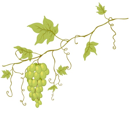 Green grapes with leaves isolated on white. Vector