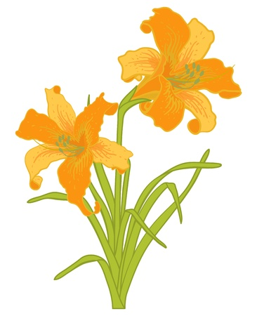 orange lily: Vector lilies isolated on a white background. Illustration
