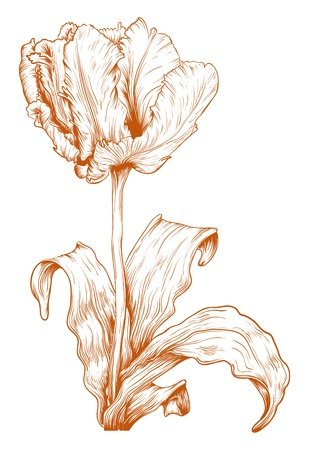 Vector tulip in vintage engraving style. Vector