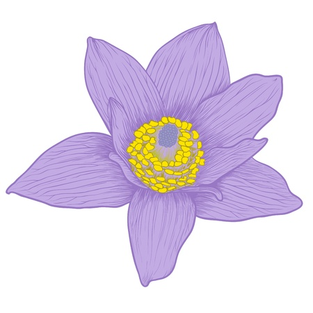 Vector anemone flower in vintage engraving style (colored). Vector