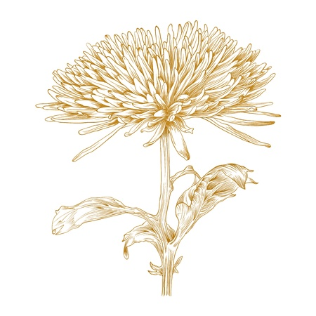 chrysanthemums: Vector chrysanthemum flower in vintage engraving style.