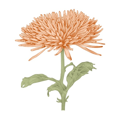 chrysanthemums: Vector chrysanthemum flower in vintage engraving style (colored).