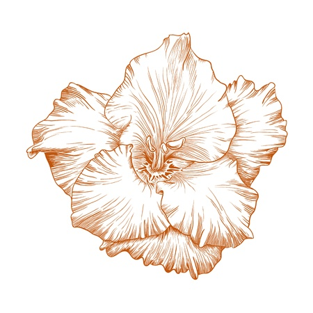 Vector gladiolus flower in vintage engraving style. Vector
