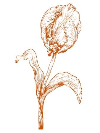 Vector tulip flower in vintage engraving style. Stock Vector - 11465561