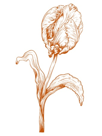 Vector tulip flower in vintage engraving style. Vector
