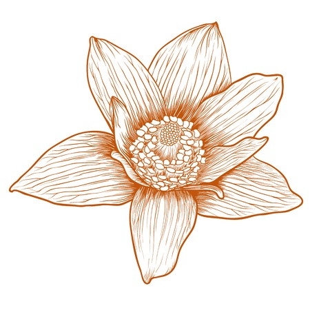 Vector anemone flower in vintage engraving style.