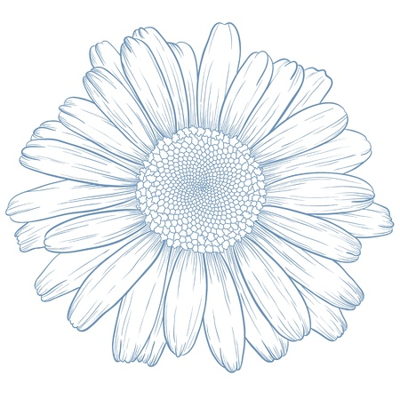 Vector blue daisy in vintage engraving style. 일러스트