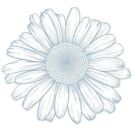 kamille: Vector Blue Daisy in Vintage-Stil Gravur. Illustration