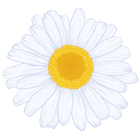 Vector colored daisy in vintage engraving style.  Vector