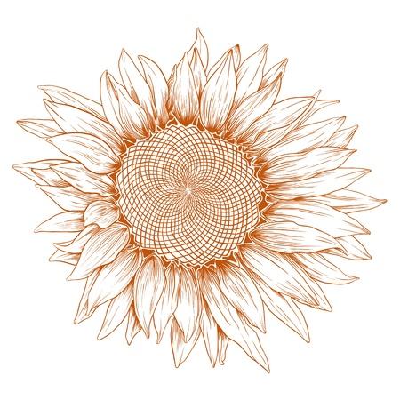 Słonecznik wektor w stylu vintage grawerowania na białym. Ilustracja