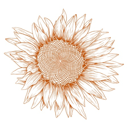 Vector sunflower in vintage engraving style on white.