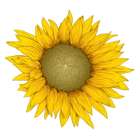 Vector colored sunflower in vintage engraving style on white. Vector