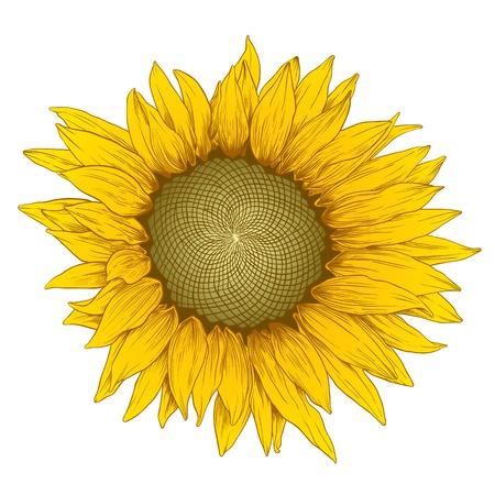 girasol: Vector de color de girasol en el estilo de grabado de la vendimia en blanco.