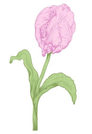Vector pink tulip flower in vintage engraving style. Vector