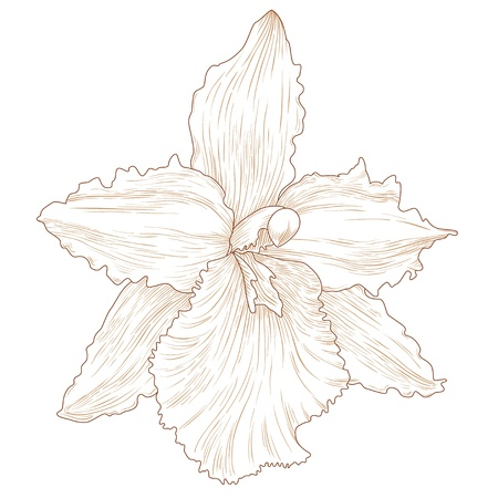 Vector illustration with orchid flowers in engraving style  Vector