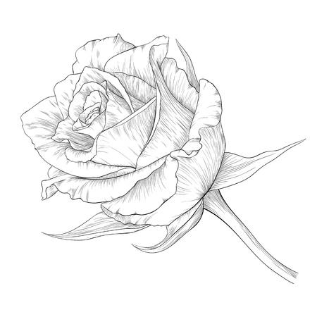 sketch: illustratie met roos in vintage graveren stijl.
