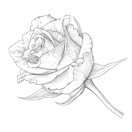 illustration with rose in vintage engraving style.