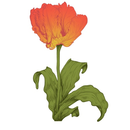 Vector red tulip flower in vintage engraving style. Vector