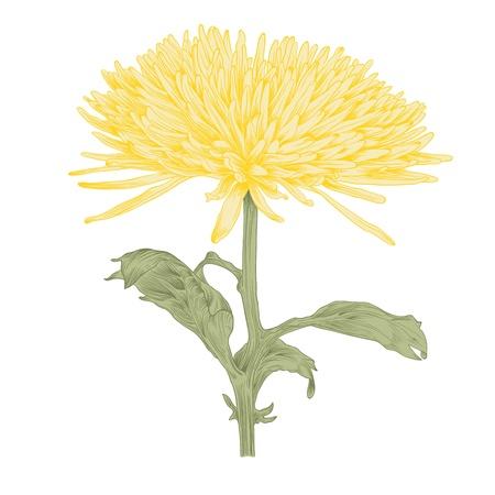 chrysanthemum flower in vintage engraving style (colored). 일러스트