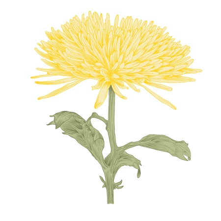 chrysanthemum flower in vintage engraving style (colored). Vector