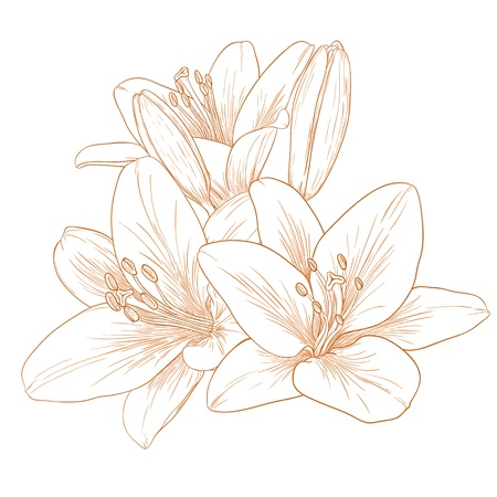 Vector lilies flowers in vintage engraving style. Vector