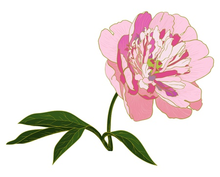 Vector peony flower isolated on white background. Vector