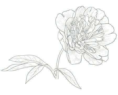 Vector peony flower in vintage engraving style. 일러스트