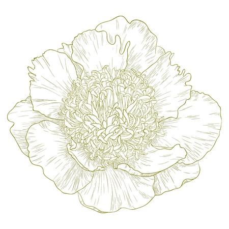 Vector peony flower in vintage engraving style. Vector