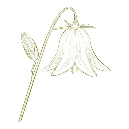 bellflower: Vector bell-flower in vintage engraving style  Illustration