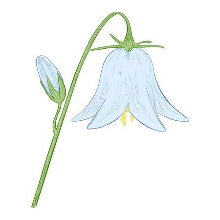 bellflower: Vector blue bell-flower isolated on white background  Illustration