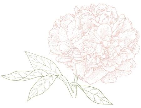 Vector fleur de pivoine dans un style vintage engraving