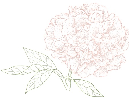 Vector peony flower in vintage engraving style  Ilustrace