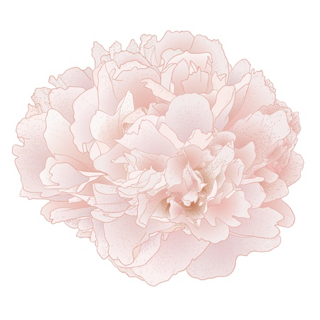 Vector peony flower isolated on white background