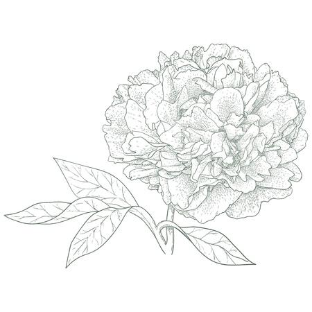 Vector peony flower in vintage engraving style  일러스트