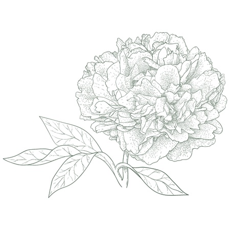 Vector peony flower in vintage engraving style  Ilustracja