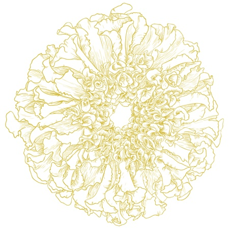 Vector marigold flower isolated on white background