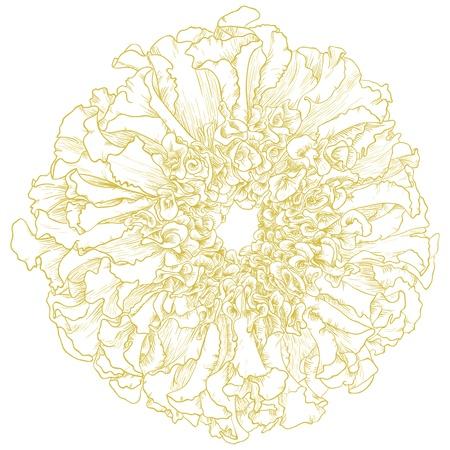 cempasuchil: Vector flor de cal�ndula aislado en el fondo blanco Vectores