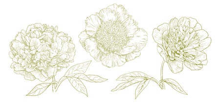 Three different vector peonies in vintage engraving style