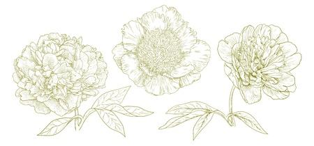 dibujo vintage: Tres peon�as diferentes vectores de estilo vintage engraving Vectores